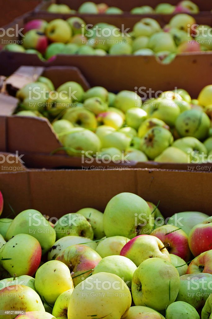 apple harvesting, many windfall fruits collected in cardboard bo stock photo