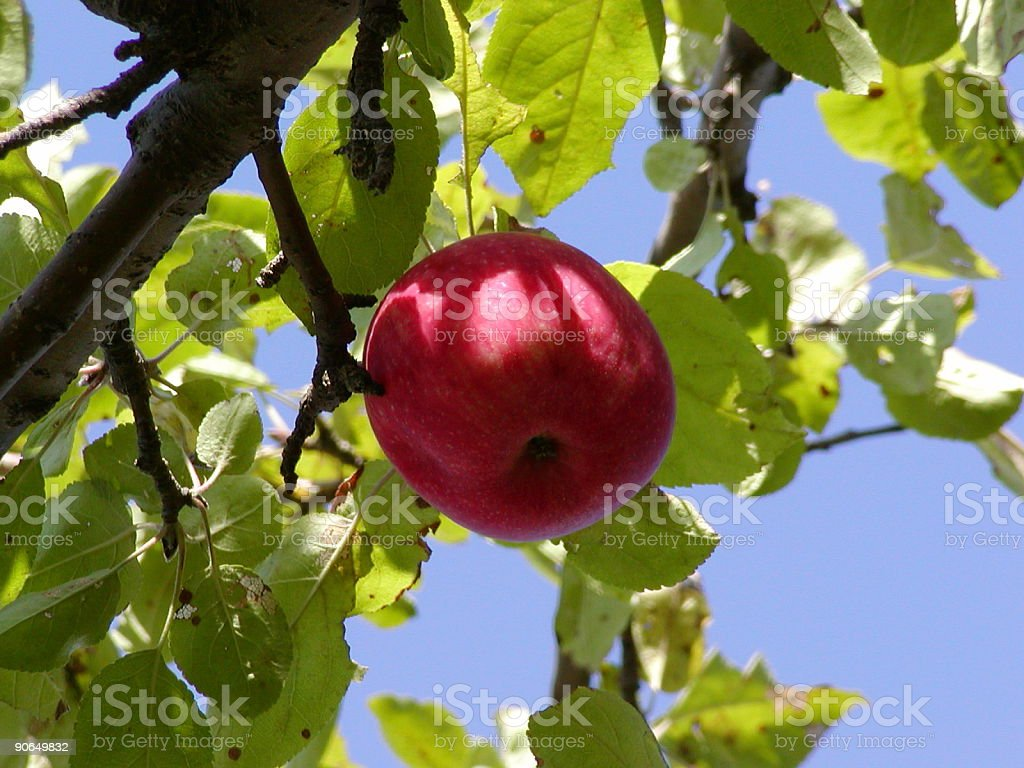 Apple in a tree royalty-free stock photo