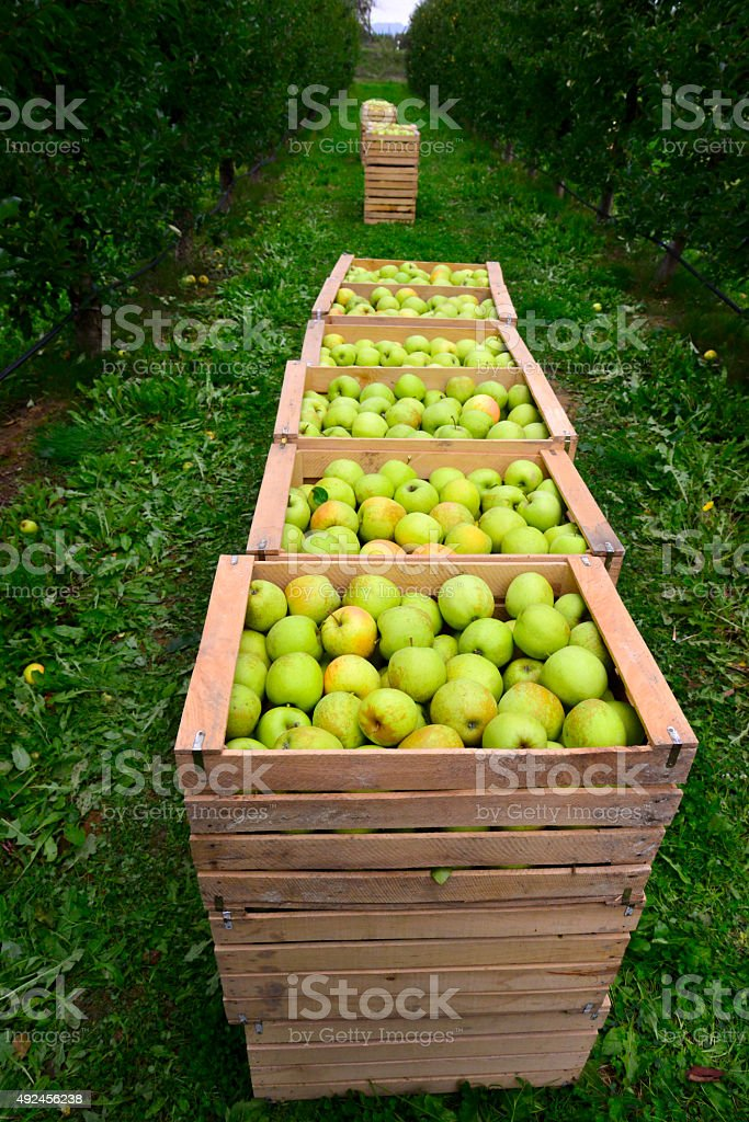 Apple  in  a wooden crates stock photo