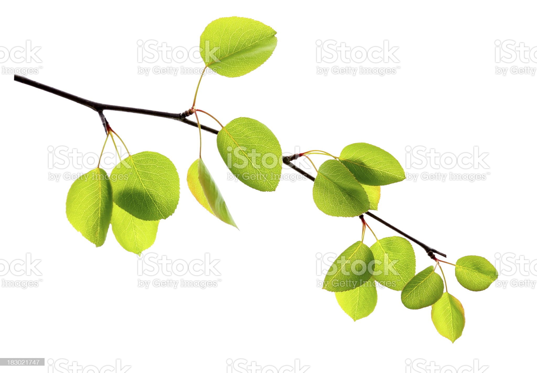 Apple Leafs royalty-free stock photo