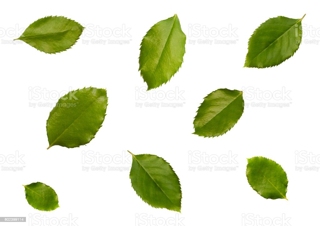 Apple leaves, isolated on white background top view. stock photo