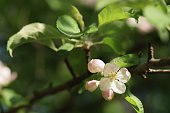 apple light pink flowers in bloom