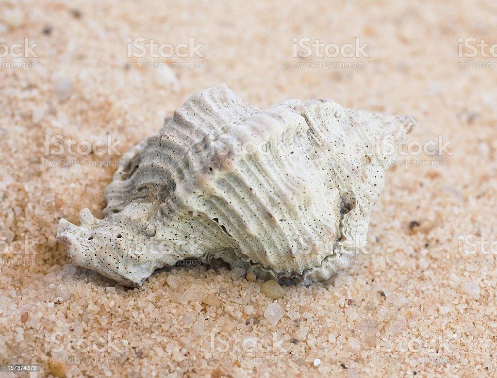 Apple Murex Seashell stock photo