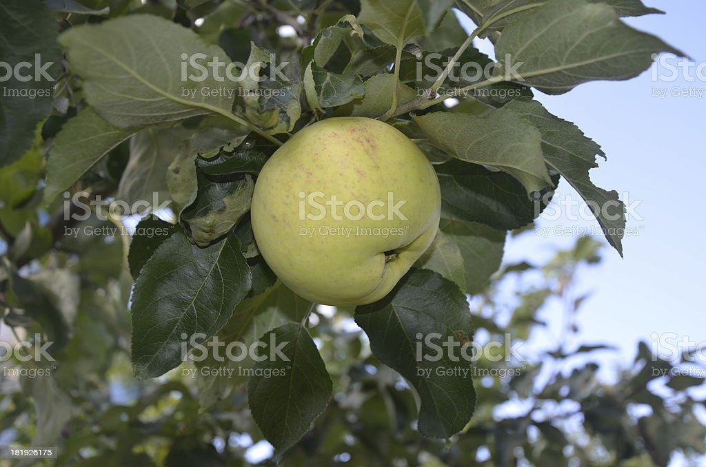 Apple on a branch royalty-free stock photo