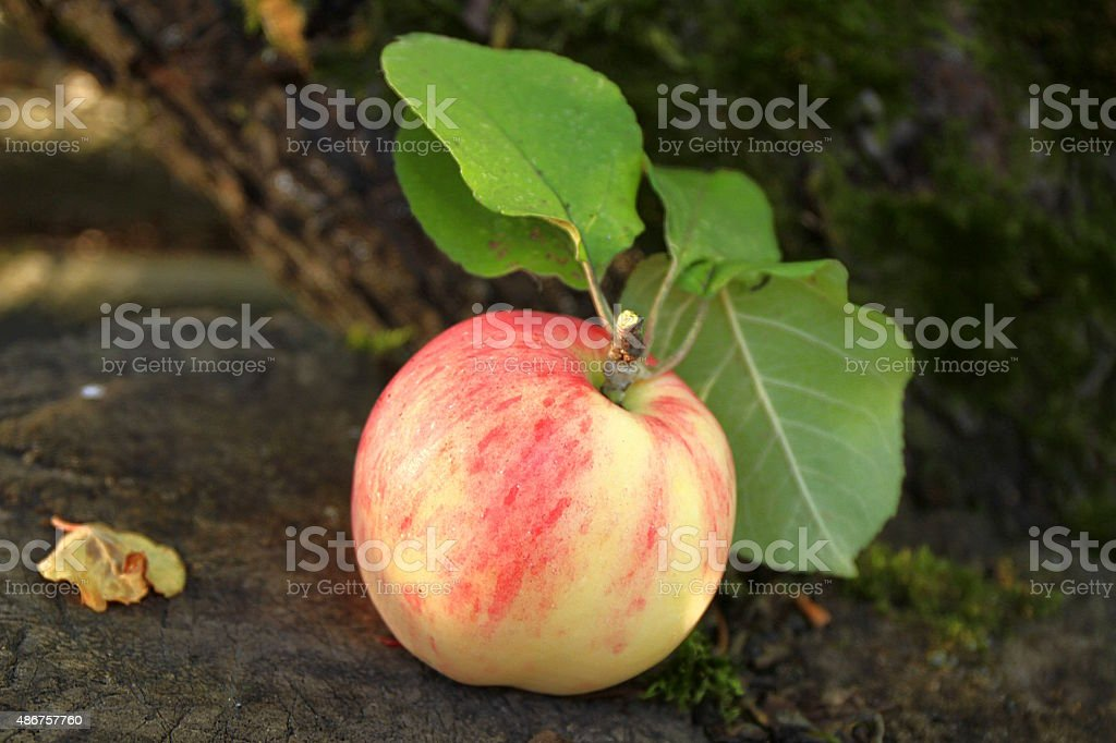 apple on a branch stock photo