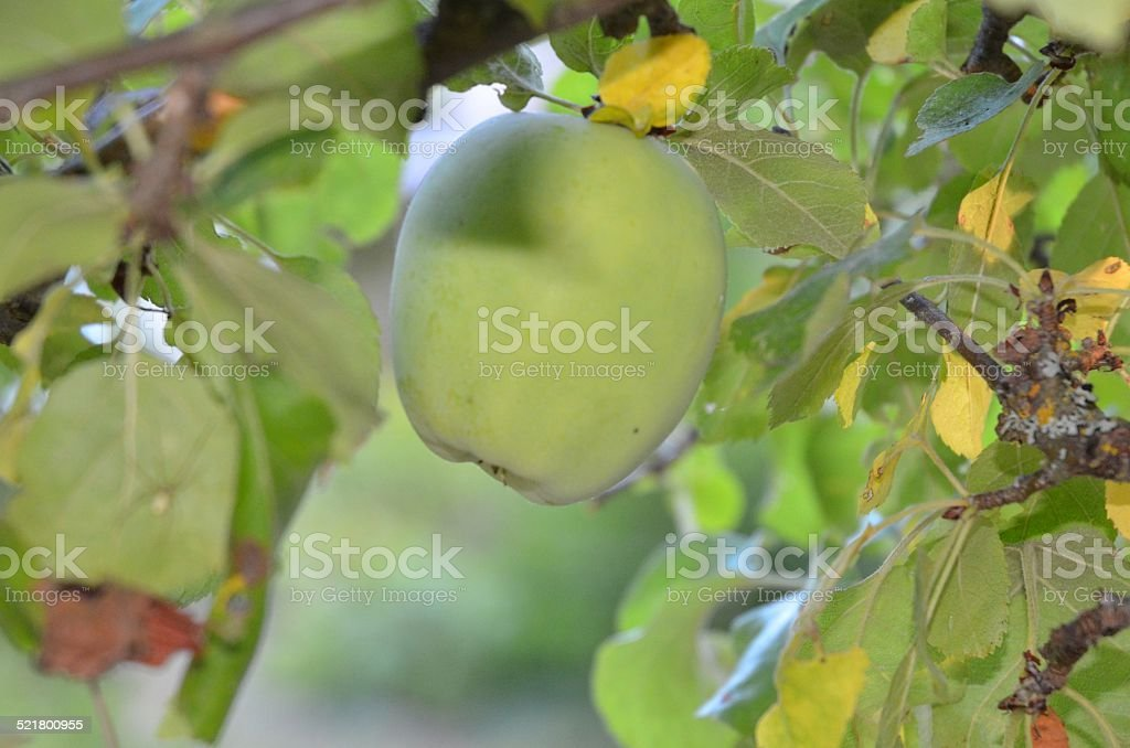 Apple on a Tree royalty-free stock photo
