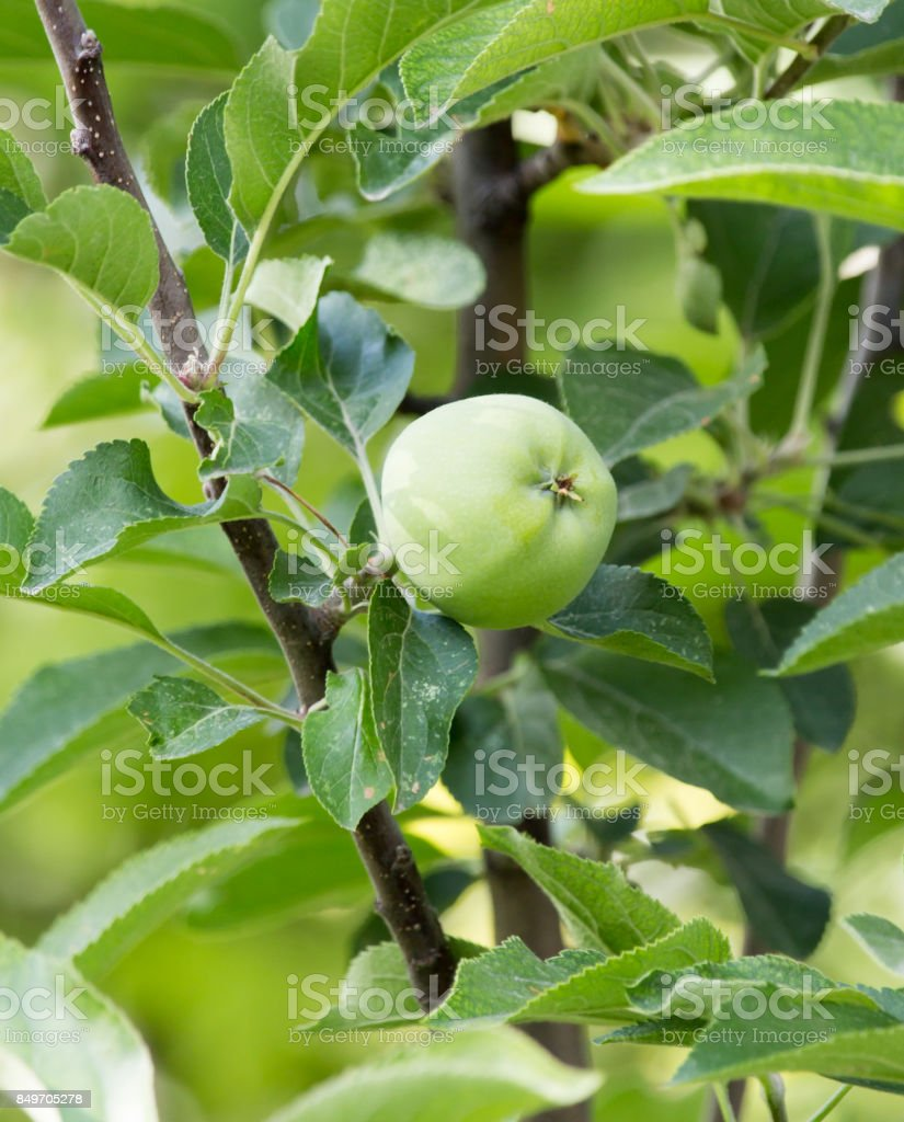 apple on the tree in nature stock photo