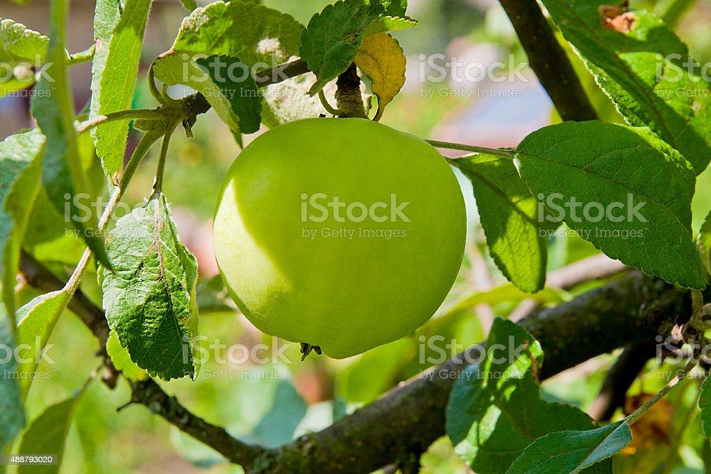 Apple en el árbol en el jardín de frutas. foto de stock libre de derechos