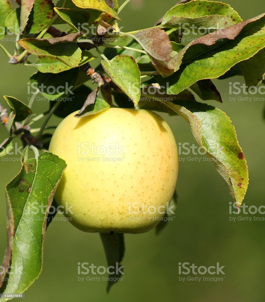 Apple on the tree royalty-free stock photo