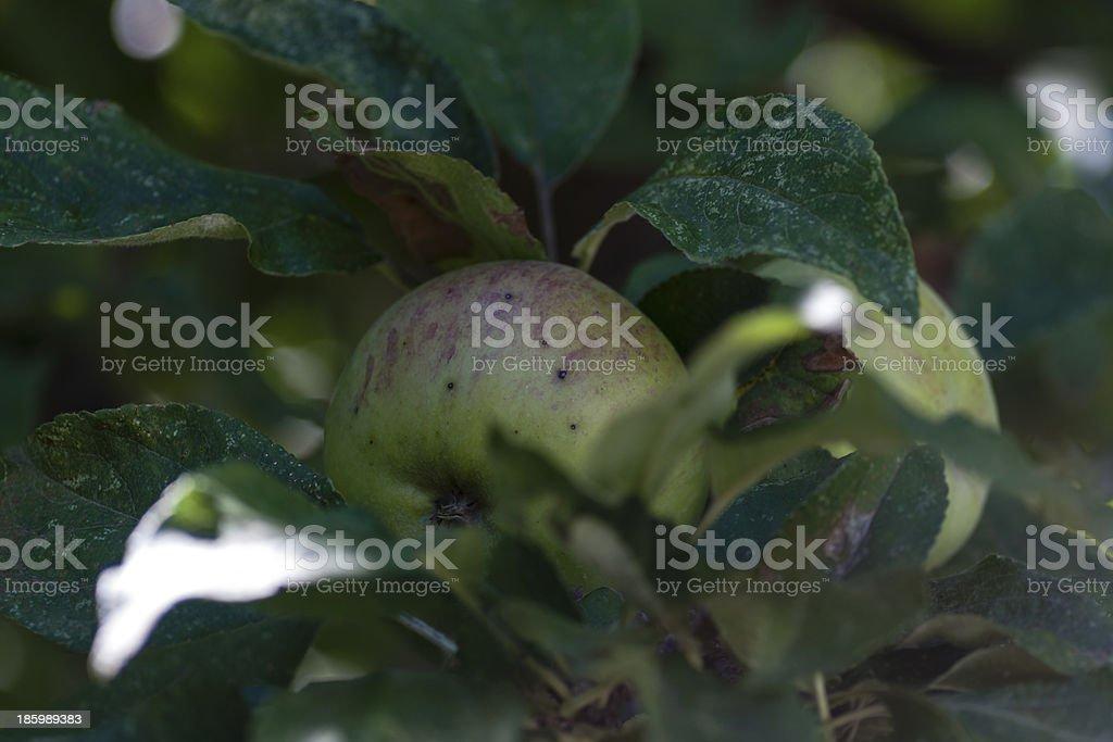 apple on the tree stock photo