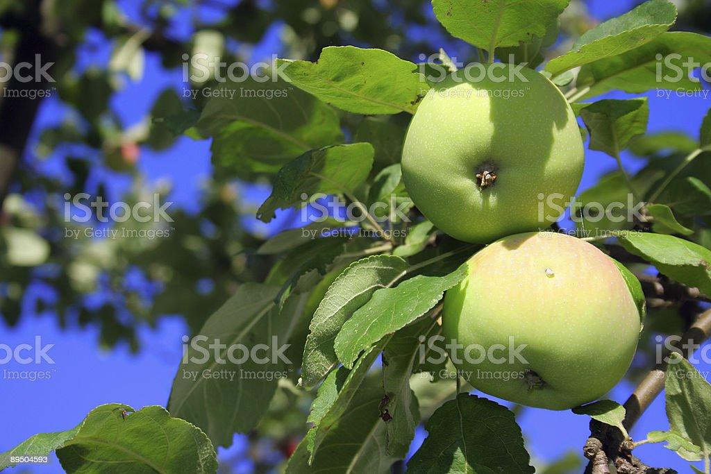 Apple on the tree royalty-free stock photo