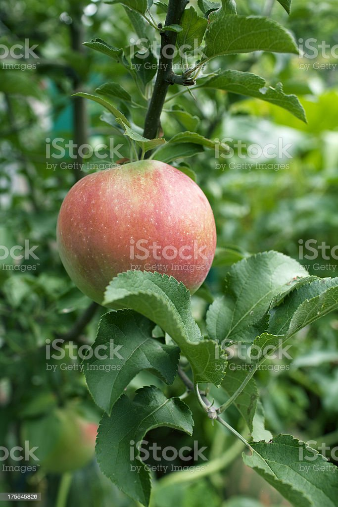 Apple on tree stock photo