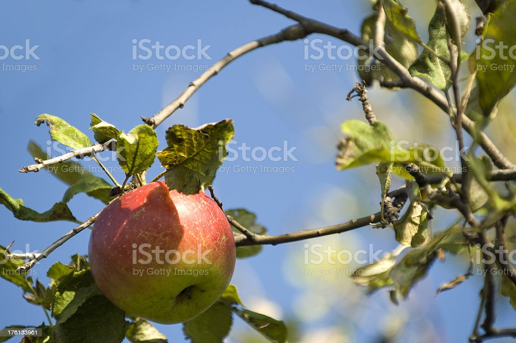 Apple on tree royalty-free stock photo
