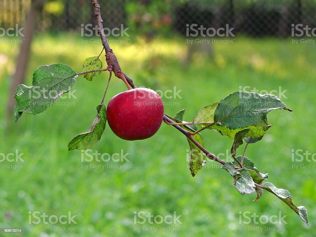 Apple on tree royalty-free stock photo