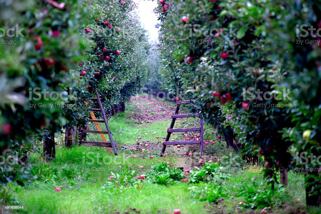 Apple orchar with ladders ready for harvesting stock photo