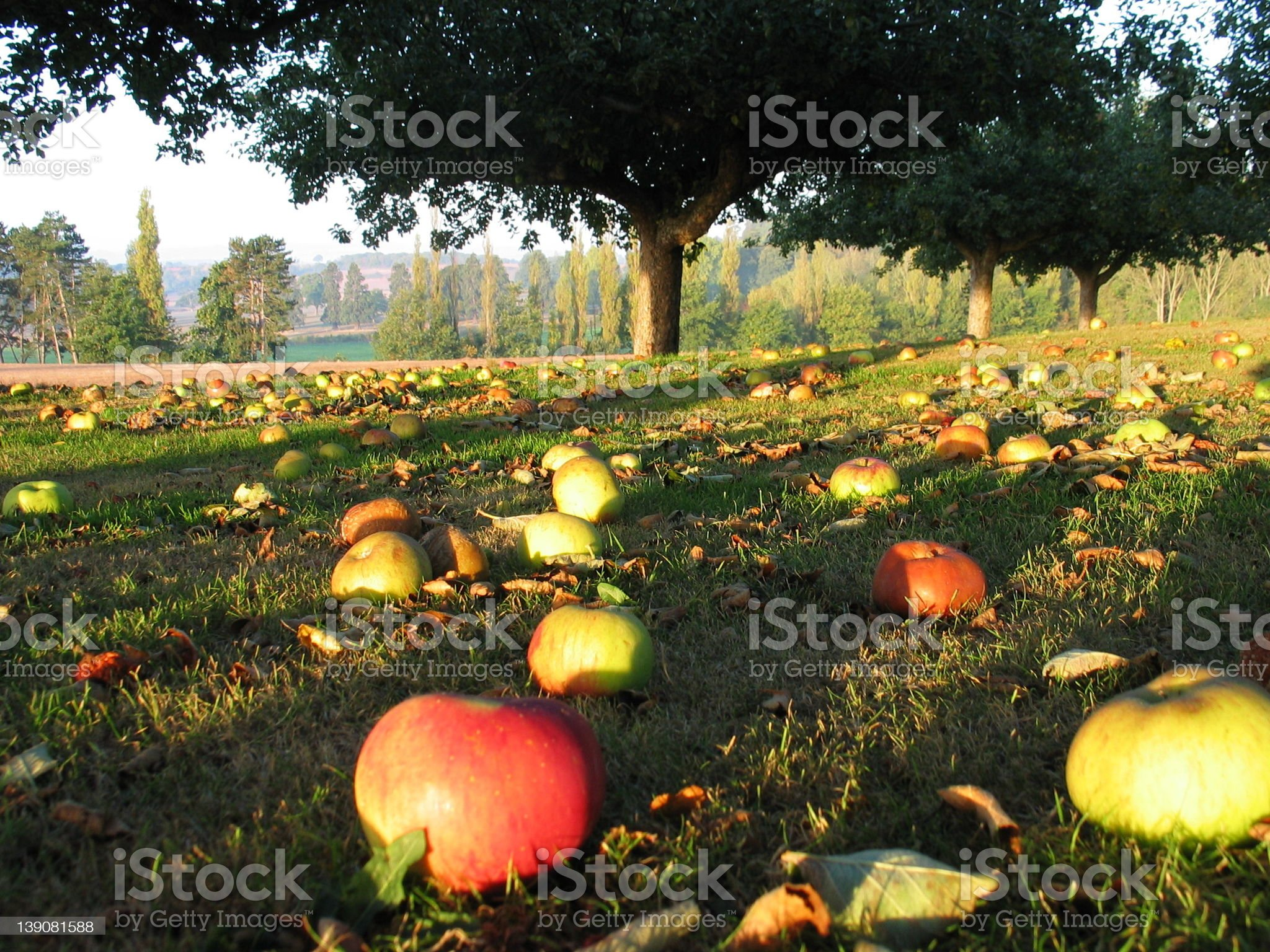 Apple Orchard 1 royalty-free stock photo