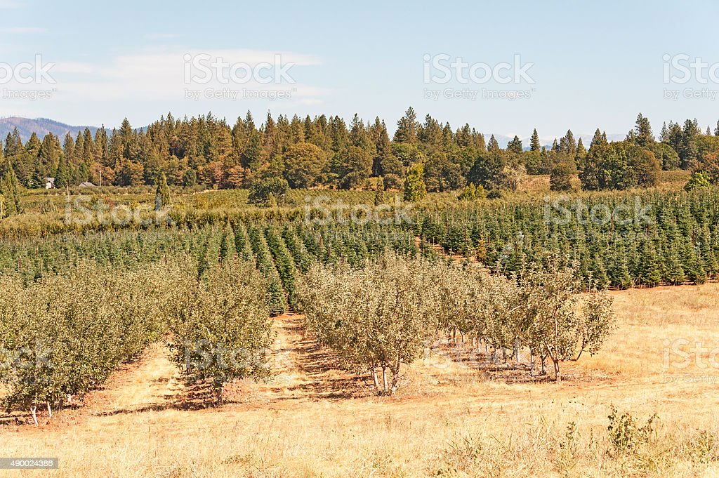 Apple Orchard and Christmas Tree farm in Camino California stock photo
