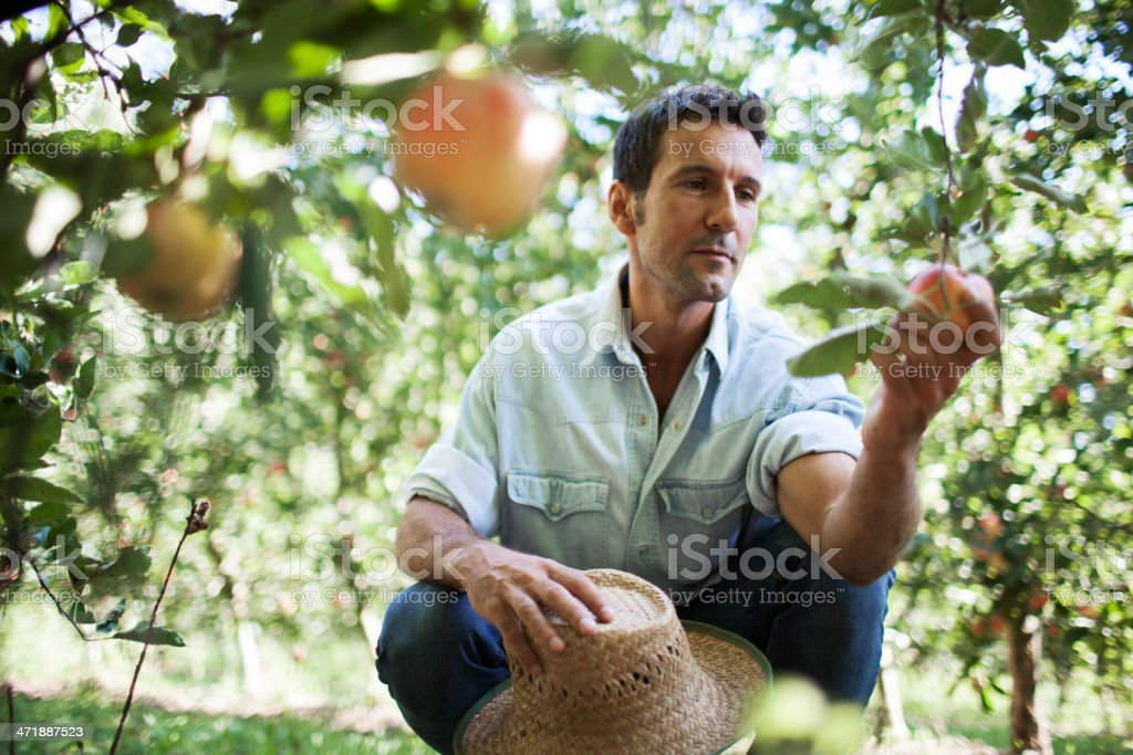 Apple orchard and harvesting. stock photo