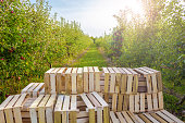 Apple orchard and wooden fruit crates