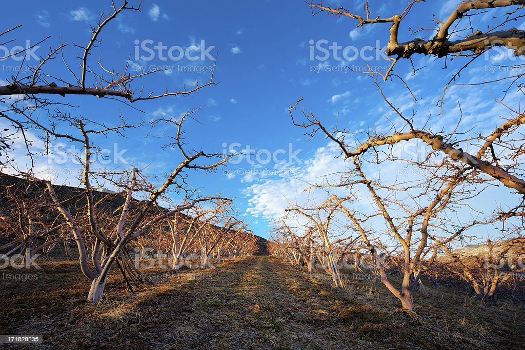 Apple Orchard During Winter royalty-free stock photo