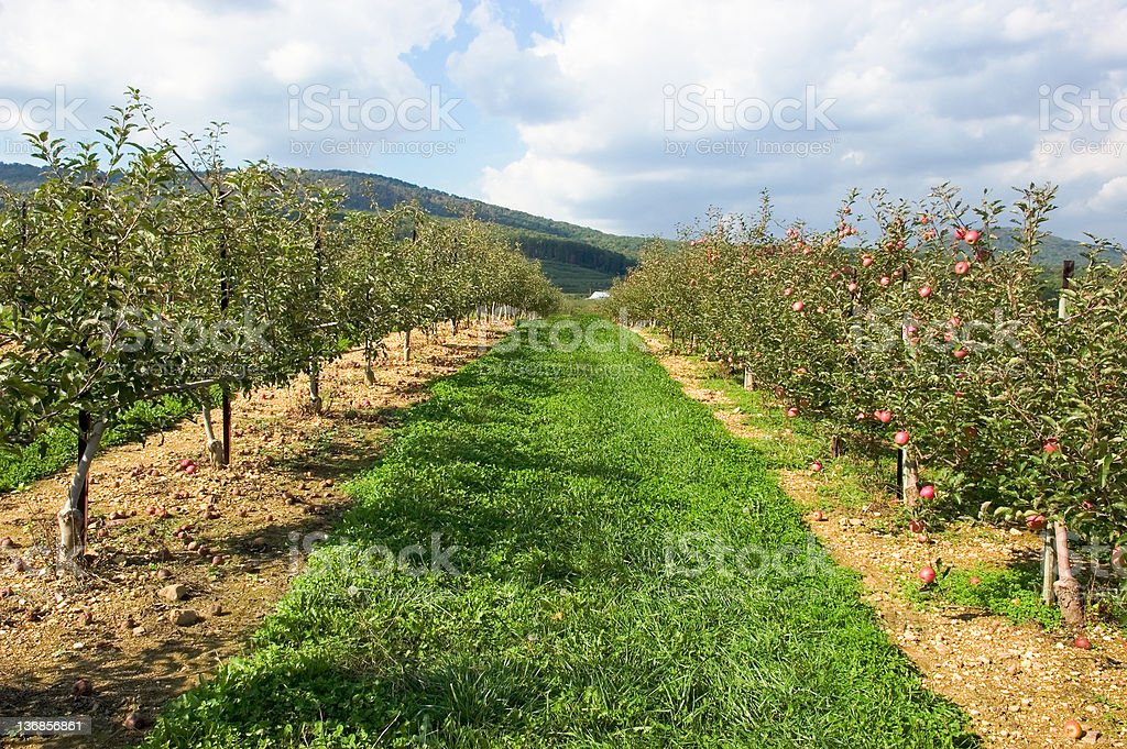 Apple Orchard in Autumn royalty-free stock photo