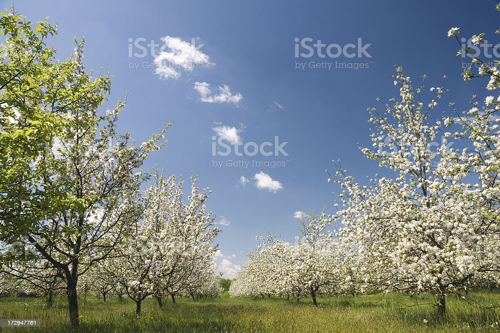 apple orchard in bloom royalty-free stock photo
