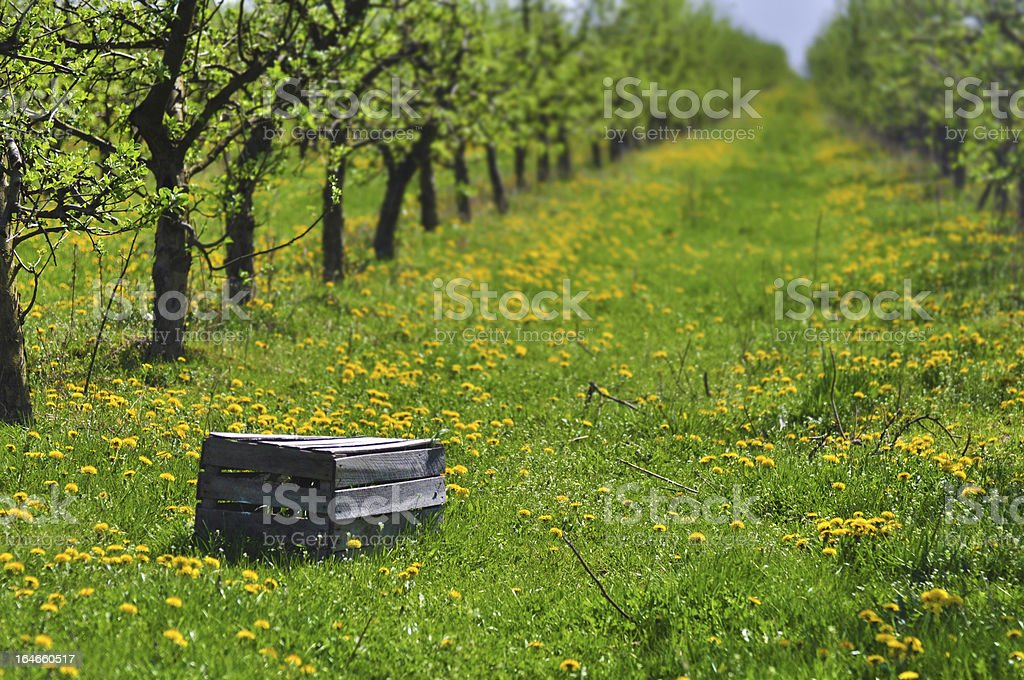Apple orchard in early summer royalty-free stock photo
