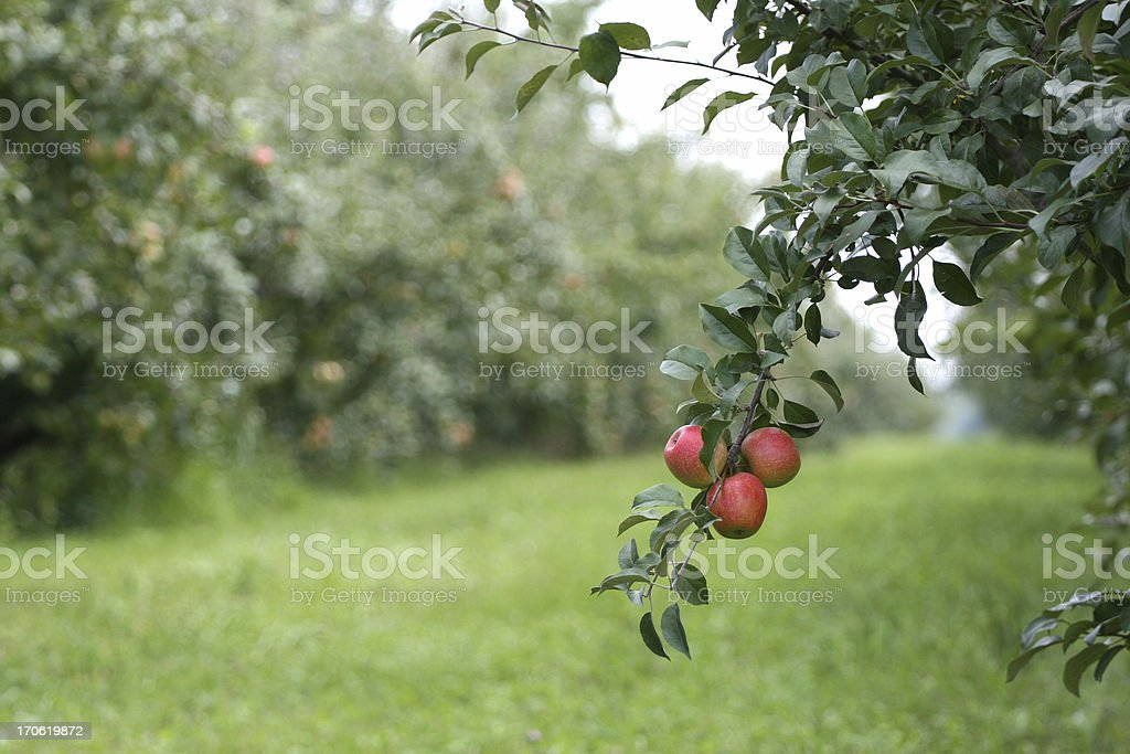 Apple Orchard in Minnesota royalty-free stock photo
