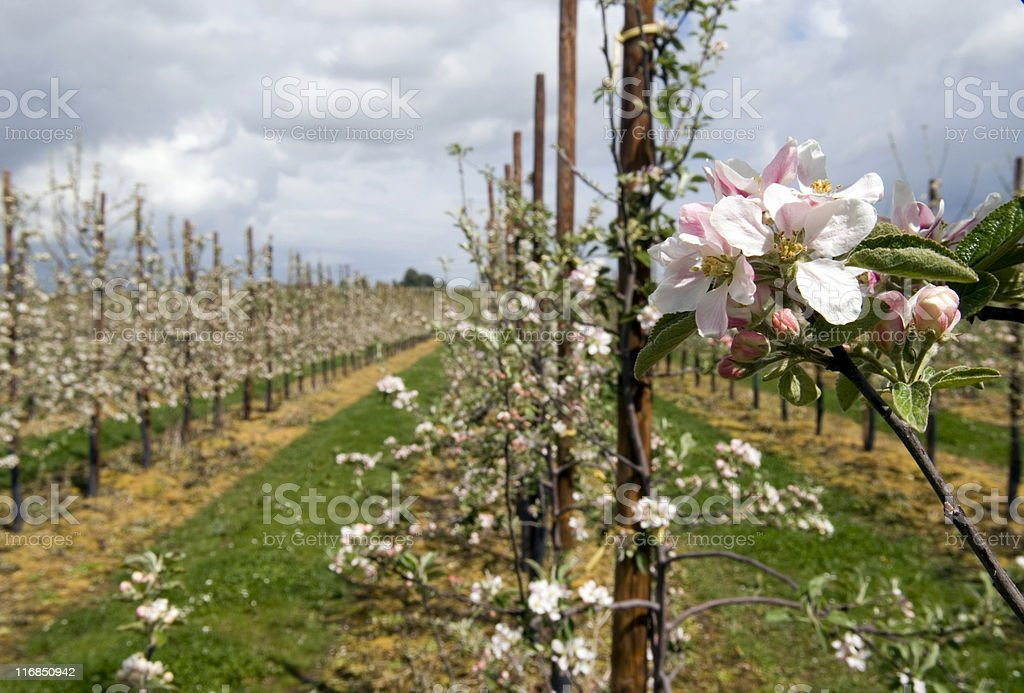Apple Orchard in Spring royalty-free stock photo