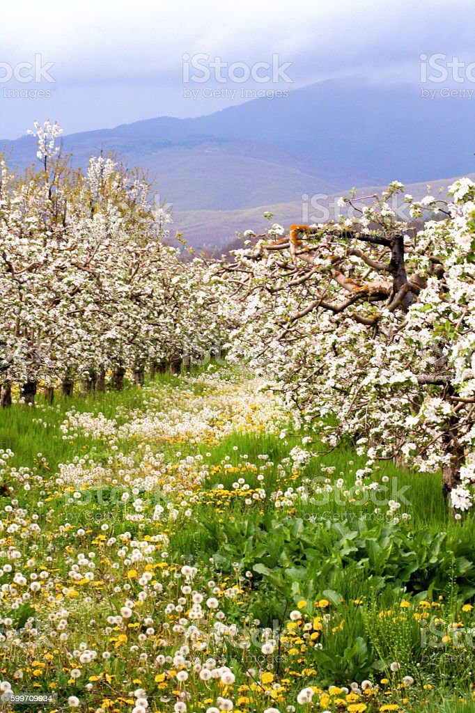 apple orchard in spring. stock photo
