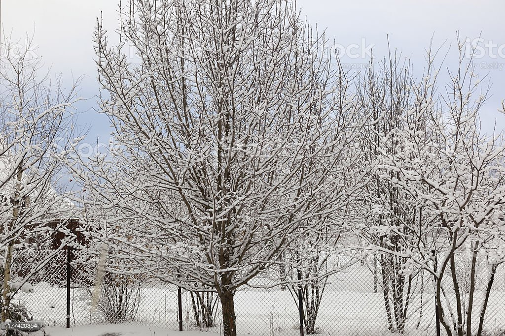Apple orchard in winter. Moscow region. Russia royalty-free stock photo