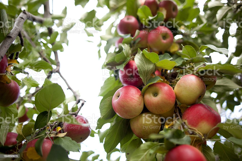 Apple Orchard royalty-free stock photo