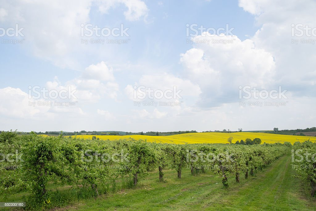 Apple orchard. stock photo