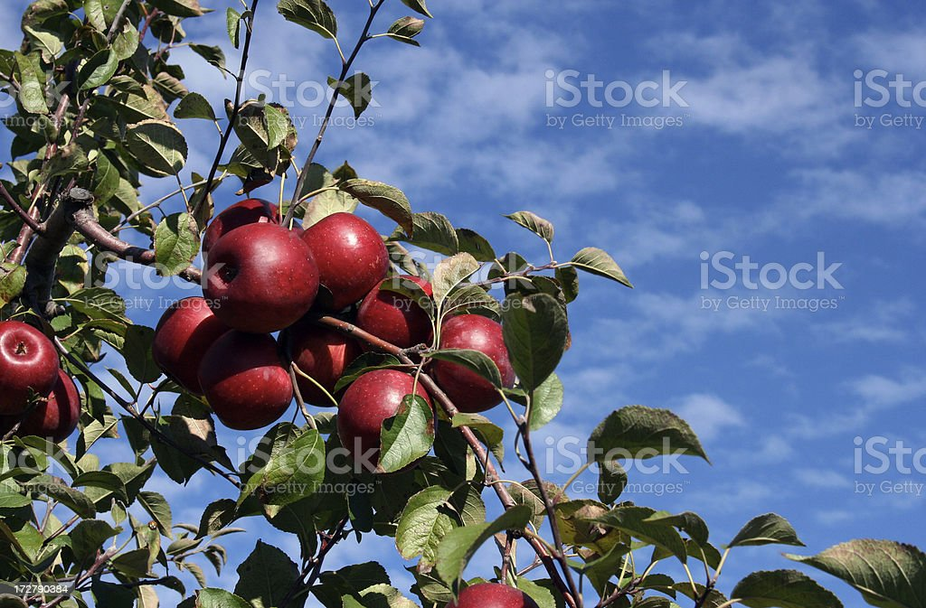 Apple Orchard: Ripe Apples royalty-free stock photo