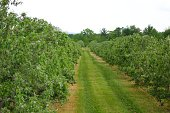 Apple orchard with a pathway