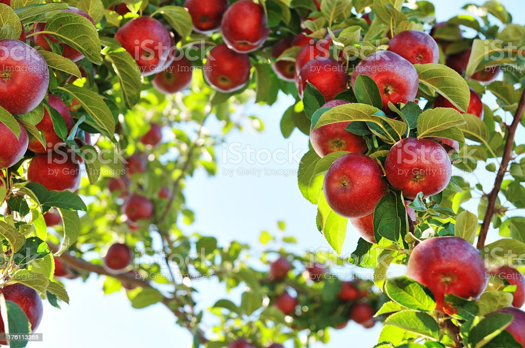 Apple orchard with apples on branches stock photo