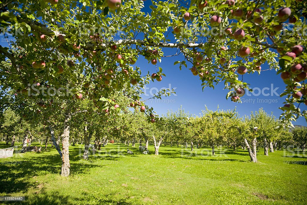 Apple Orchards stock photo