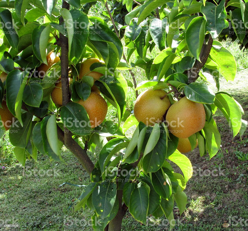 Apple pear on tree branches stock photo
