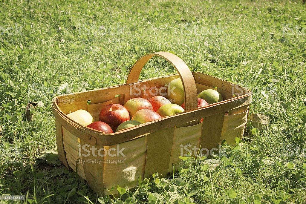 Apple picking basket royalty-free stock photo