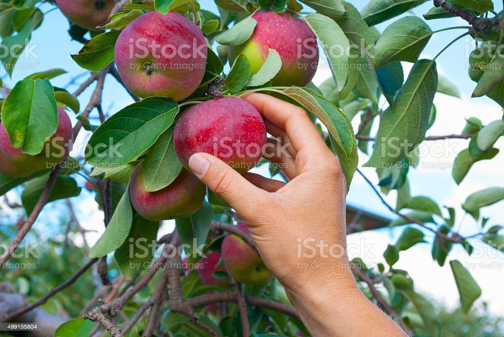 apple picking hand stock photo