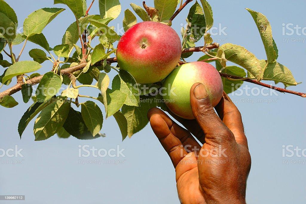 Apple Picking Time stock photo