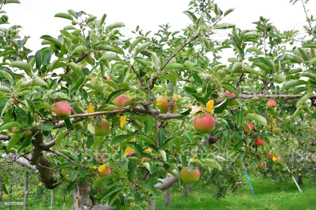 Apple (Malus domestica) stock photo
