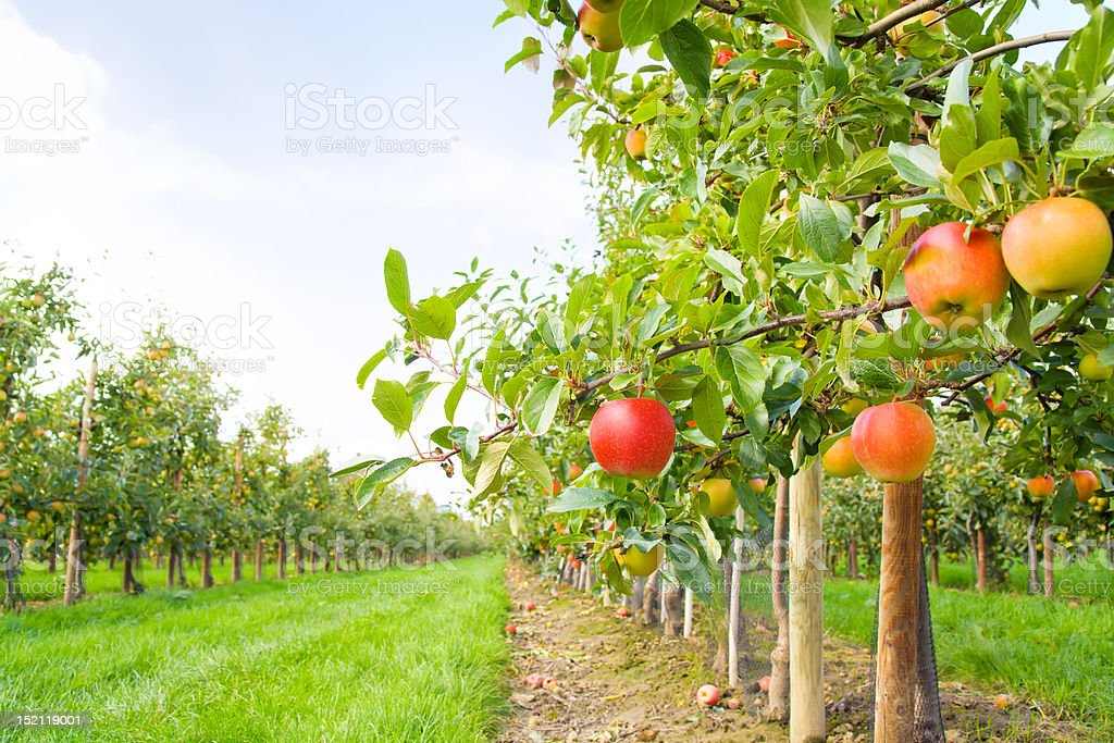 Apple plantation stock photo