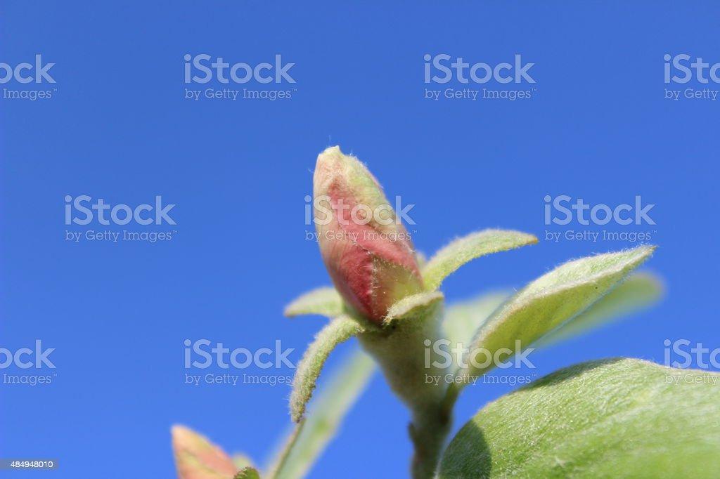 Apple quince amazing flowers stock photo
