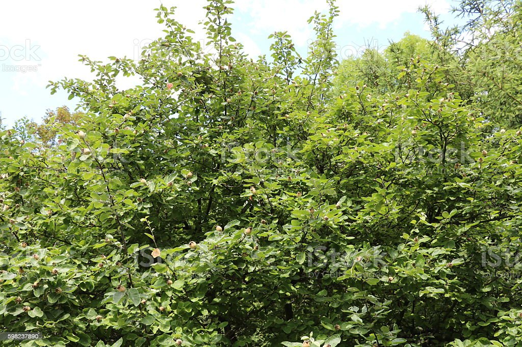 Apple quince tree in the garden stock photo