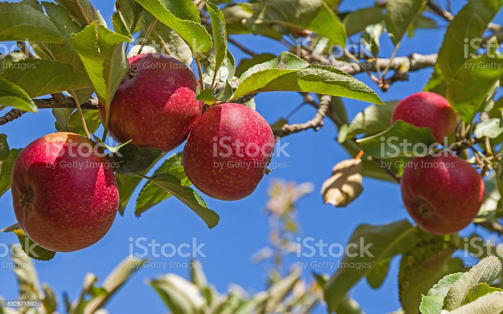 Apple Red Rome on Tree  - Manzanas Red Rome stock photo