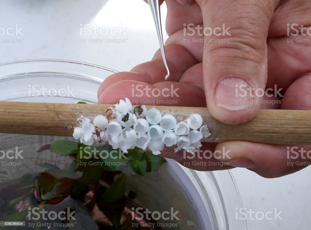 Apple Snail Eggs stock photo