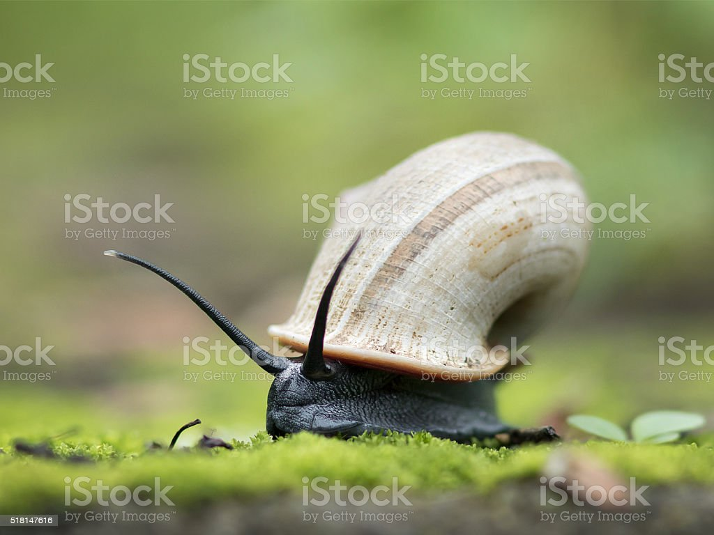 Apple Snail (Ampullariidae) stock photo