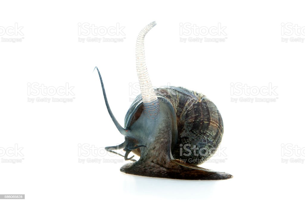 Apple snail stock photo