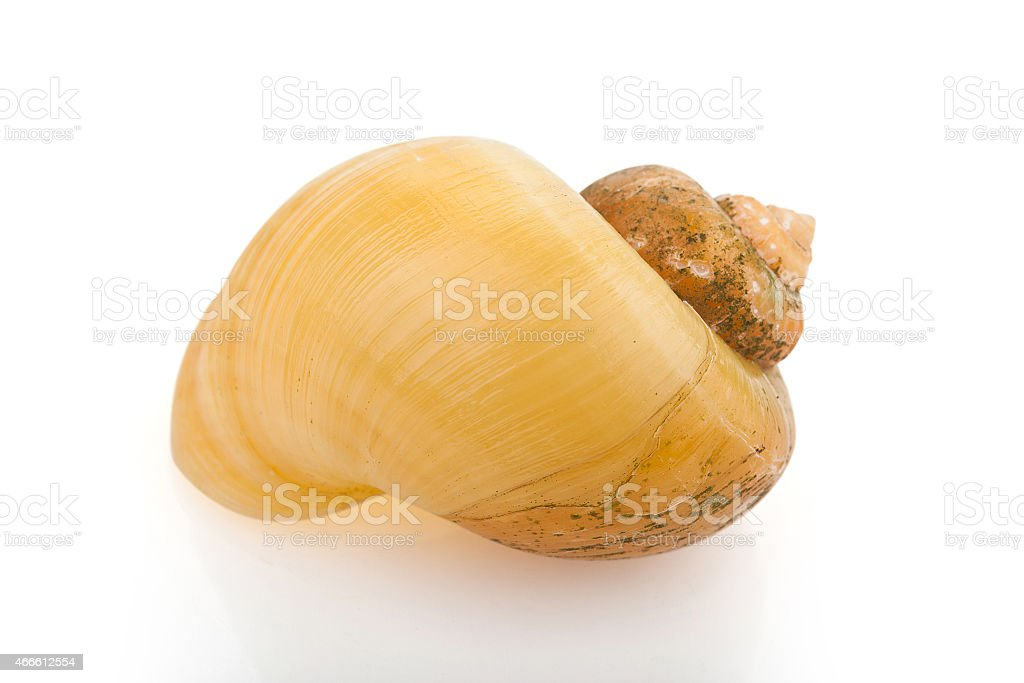 Apple Snail Shell stock photo